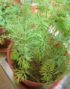dill-turning-yellow